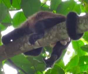 Monkey testes