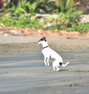 Black sand dog